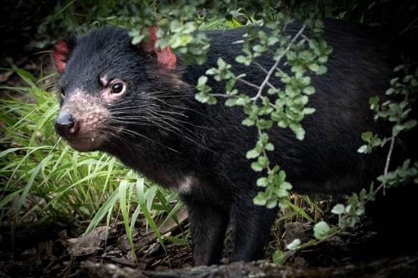 Reintroducen al demonio de Tasmania en Australia tras 3 mil años de ausencia