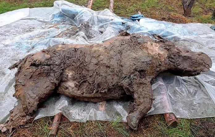 Hallan congelado a rinoceronte lanudo de hace 20 mil años en Siberia